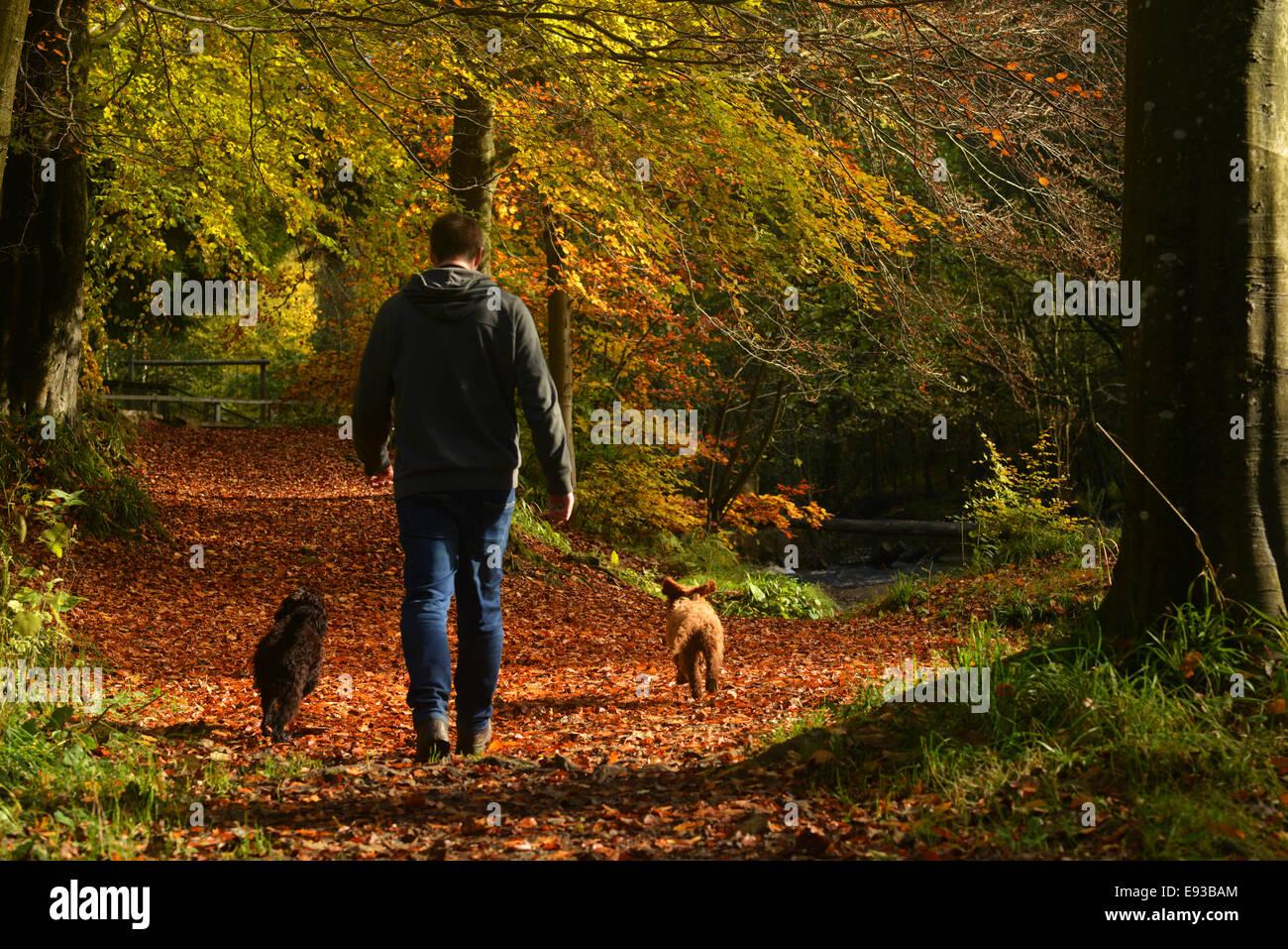 Hamsterley Wald, County Durham, Großbritannien. 18. Oktober 2014. Ein Mann geht seinen Hunden in Hamsterley Forest Stockfoto