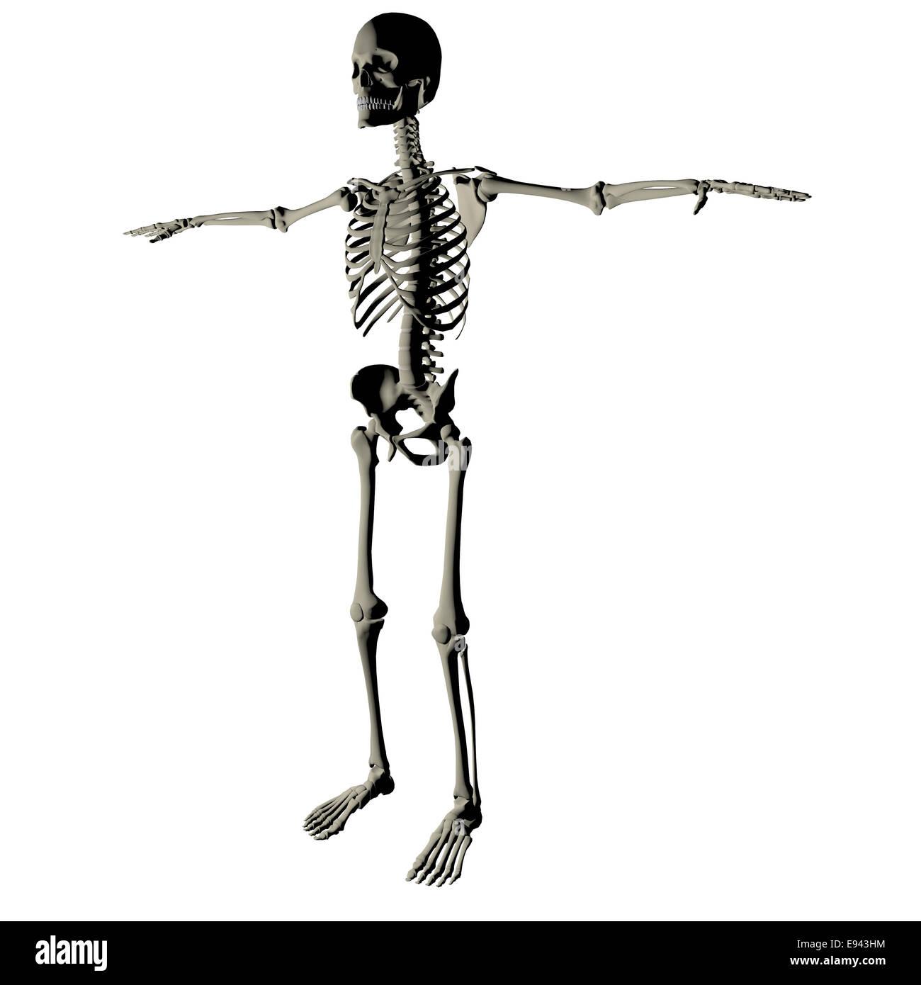 Ziemlich Skelett Der Menschlichen Anatomie Bilder - Menschliche ...