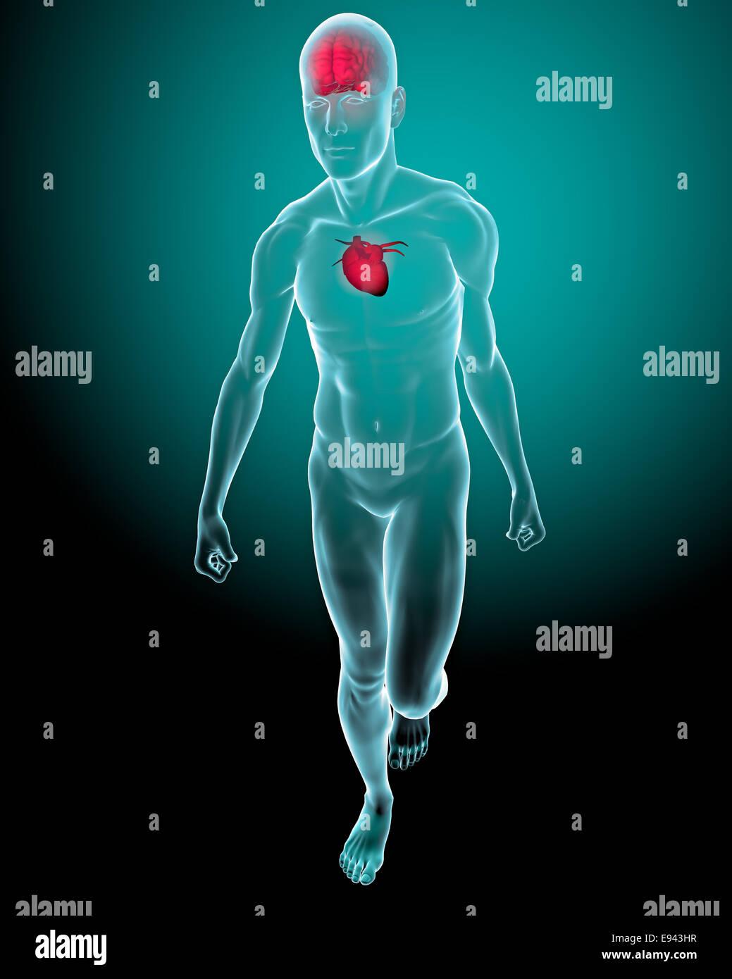 Menschlichen Körper mit Herz und Hirn Röntgen Stockfoto, Bild ...