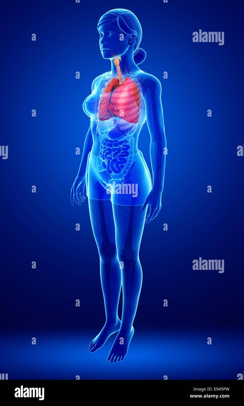 Erfreut Lungen Anatomie Ppt Galerie - Menschliche Anatomie Bilder ...