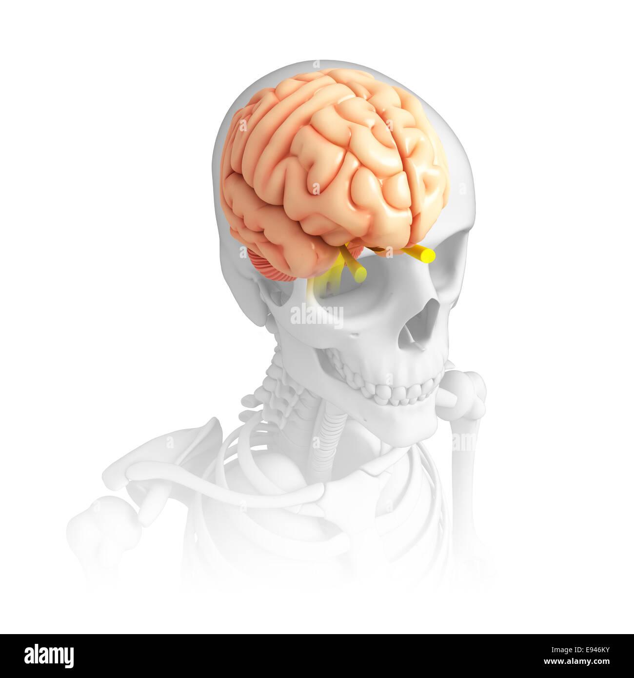 Niedlich Bücher über Die Menschliche Anatomie Und Physiologie ...