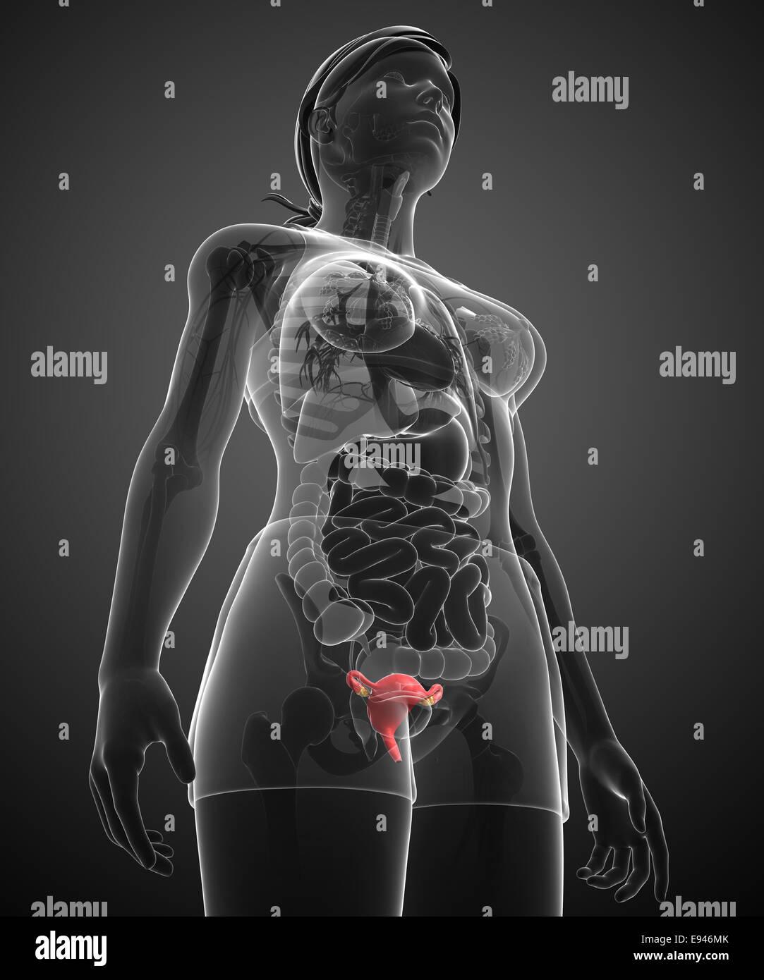 Ungewöhnlich Gebärmutter Anatomie Bänder Galerie - Physiologie Von ...