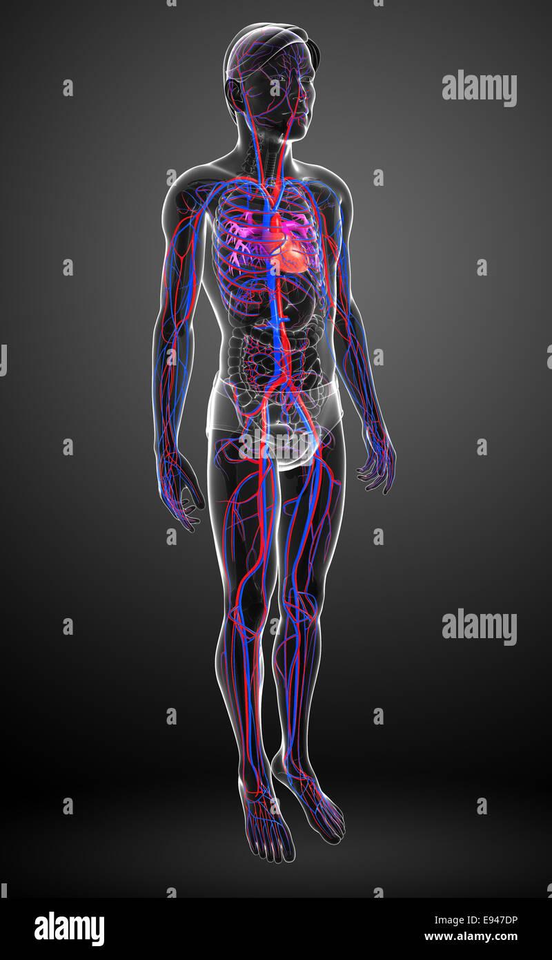 Ausgezeichnet Anatomie Herz Kreislauf System Fotos - Menschliche ...