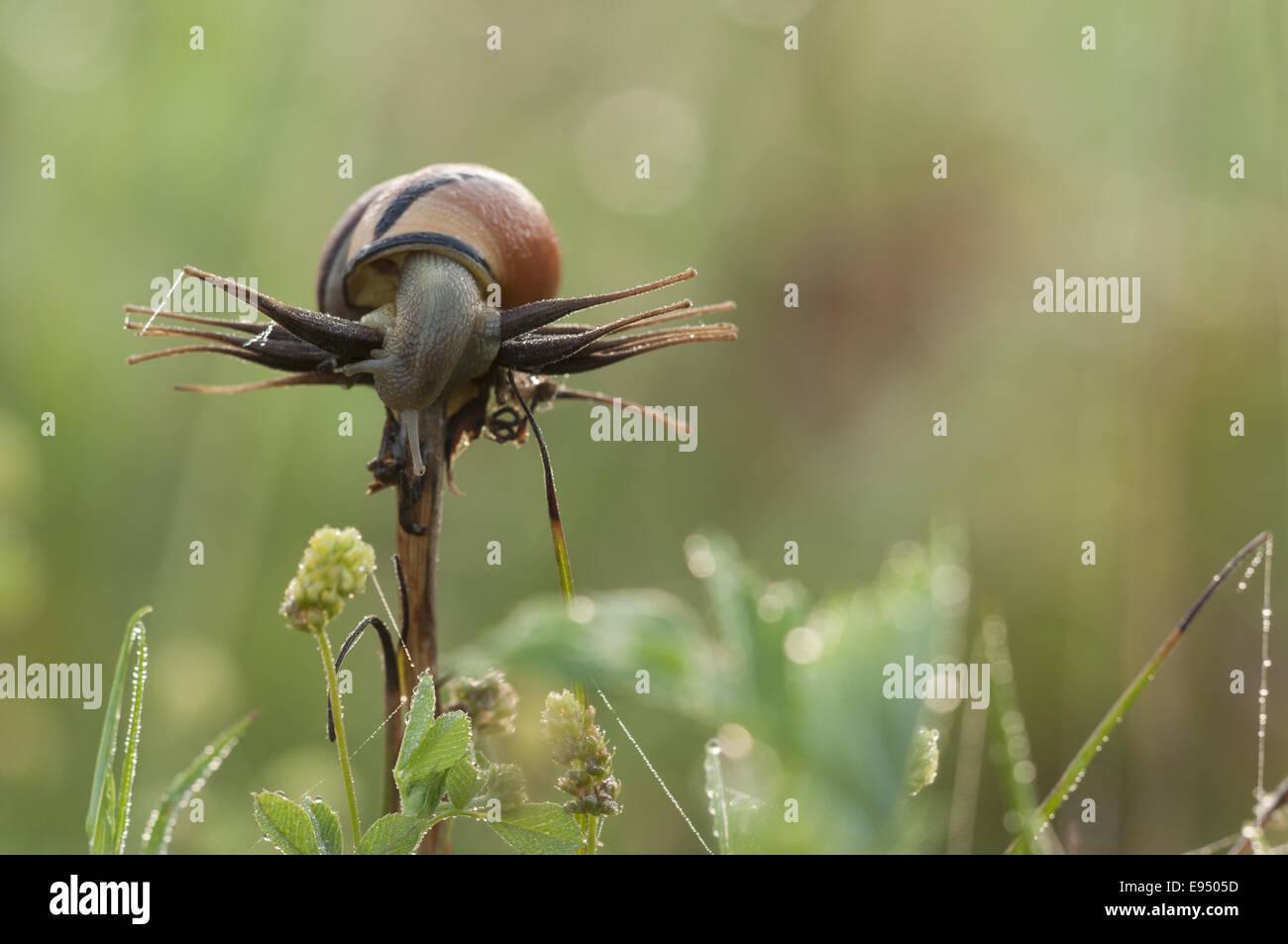 Hain-Schnecke (Bänderschnecken Nemoralis), Deutschland Stockbild