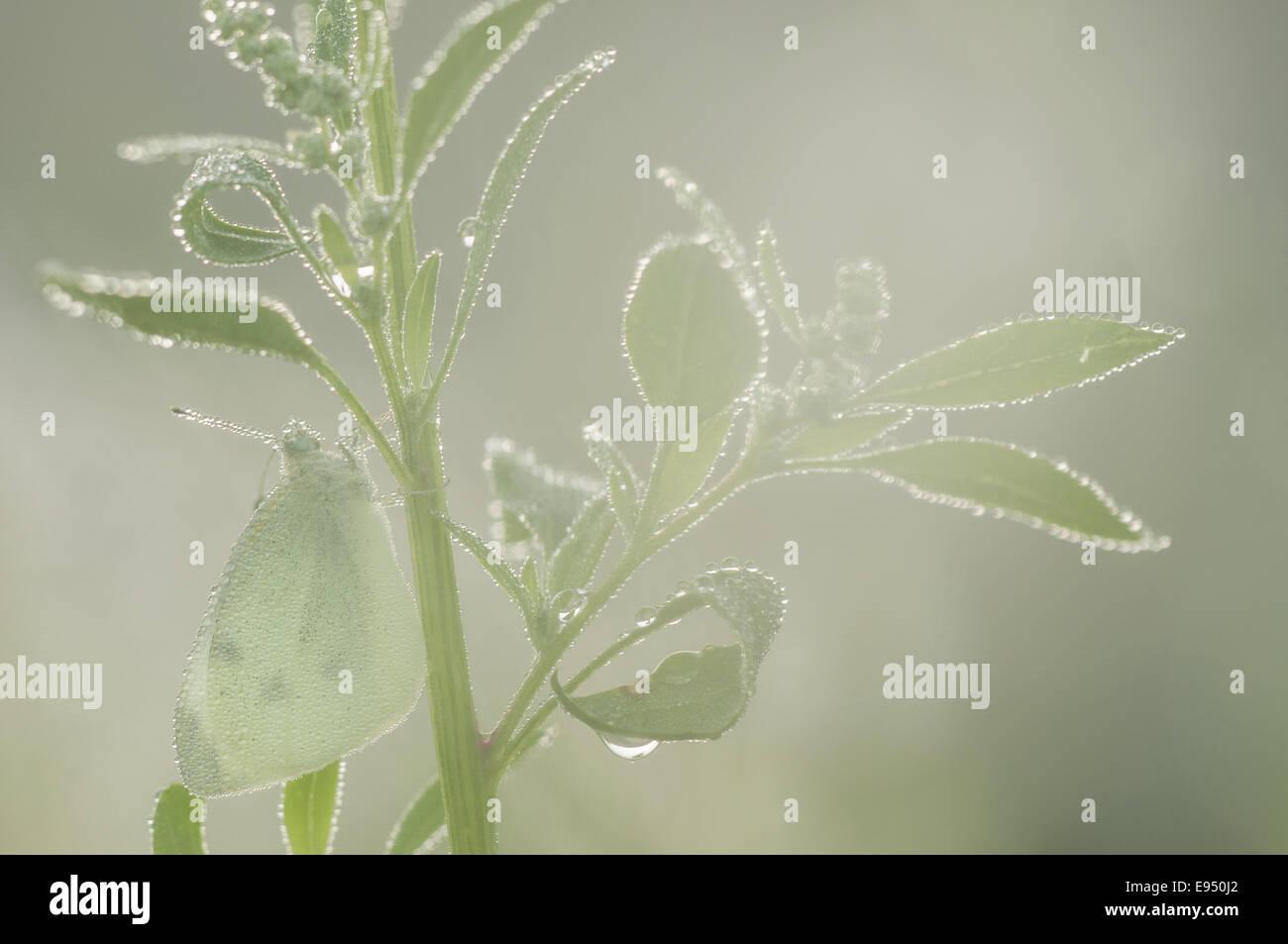 Kleine weiße (Pieris Rapae), Deutschland Stockbild