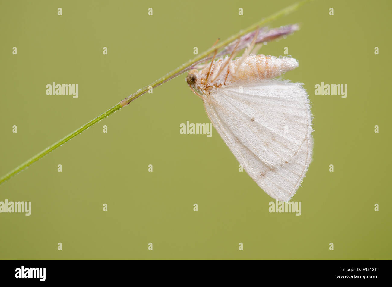 Geometer Motten (Lythria Cruentaria), Deutschland Stockbild