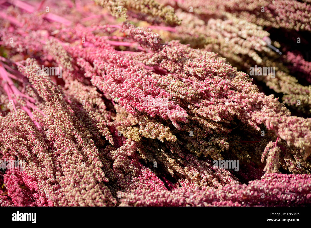 Pflanzen Trocknen pflanzen der quinoa chenopodium quinoa trocknen quivilla huanuco