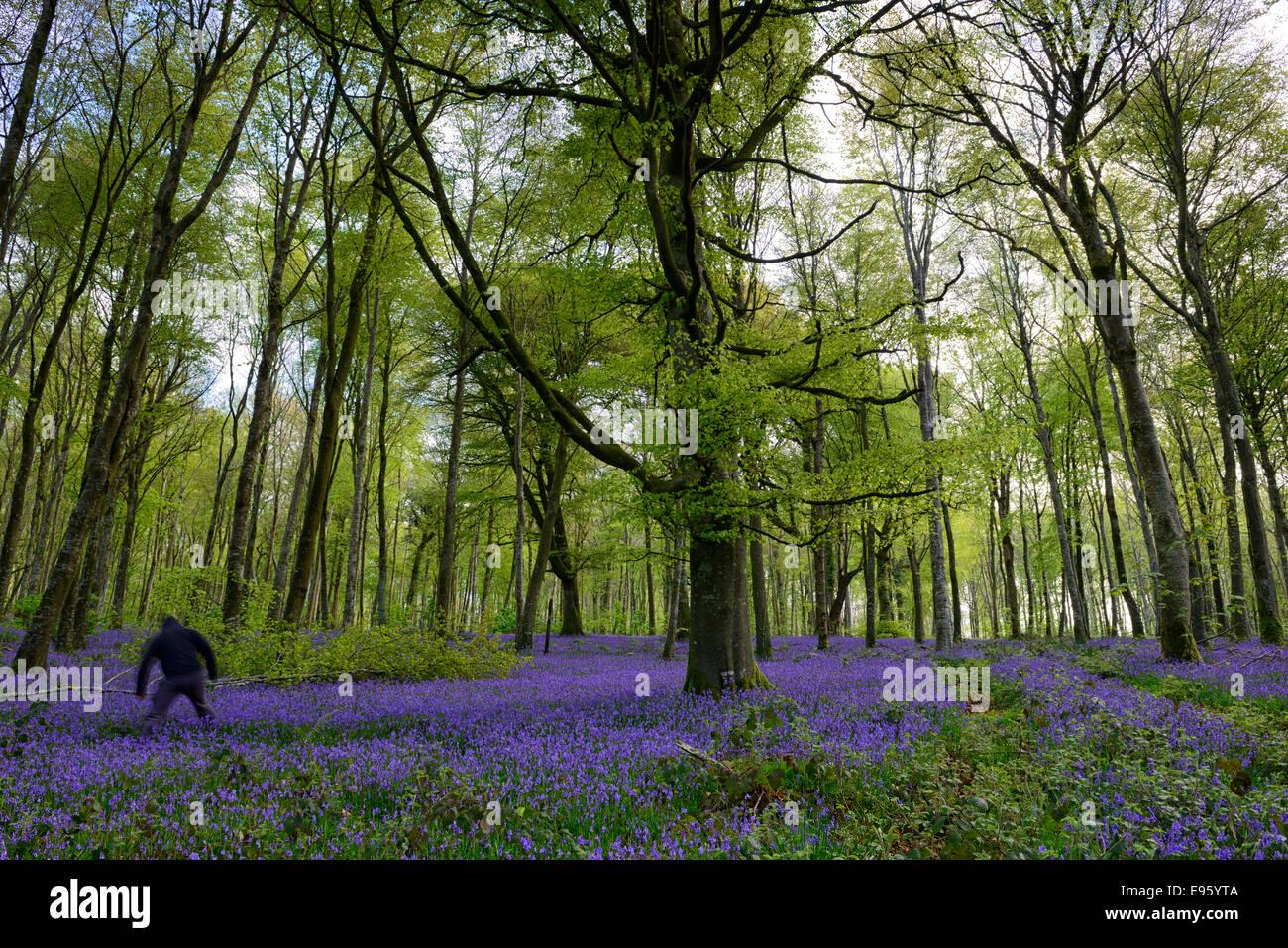 Vermummte Mann herauszufinden dunklen bedrohlichen Bluebell Holz Wald Wald Frühling Bedrohung böse Stockbild