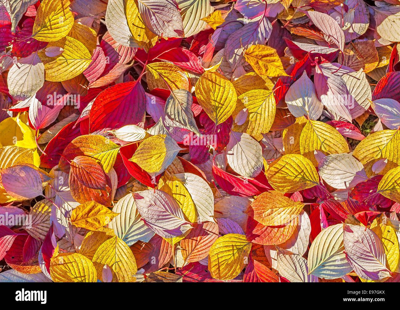 Farbigen Hintergrund gemacht des Herbstes lässt. Stockbild