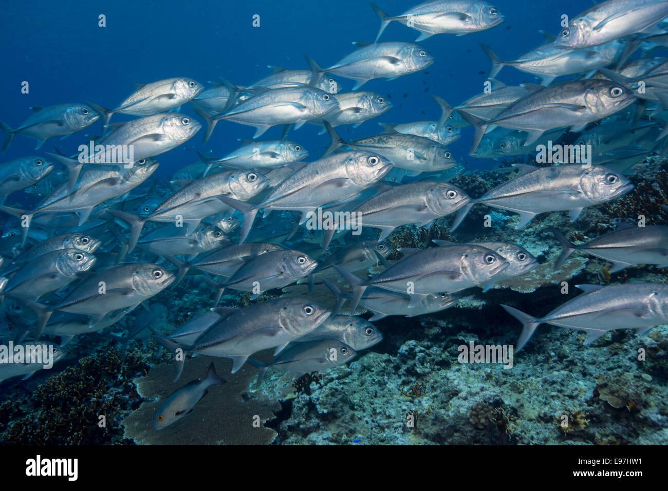 Schule der Bigeye Makrelen. Stockfoto