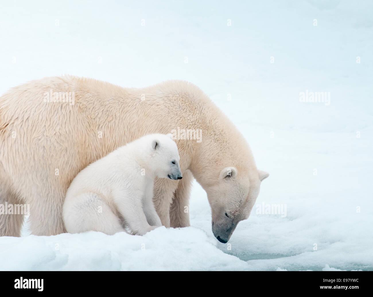Eisbär-Mutter mit jungen dicht neben ihr, Ursus Maritimus, Olgastretet Packeis, Spitzbergen, Svalbard-Archipel, Stockbild
