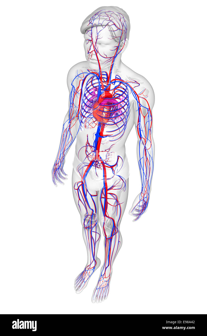 Groß Herz Kreislauf System Funktion Zeitgenössisch - Menschliche ...