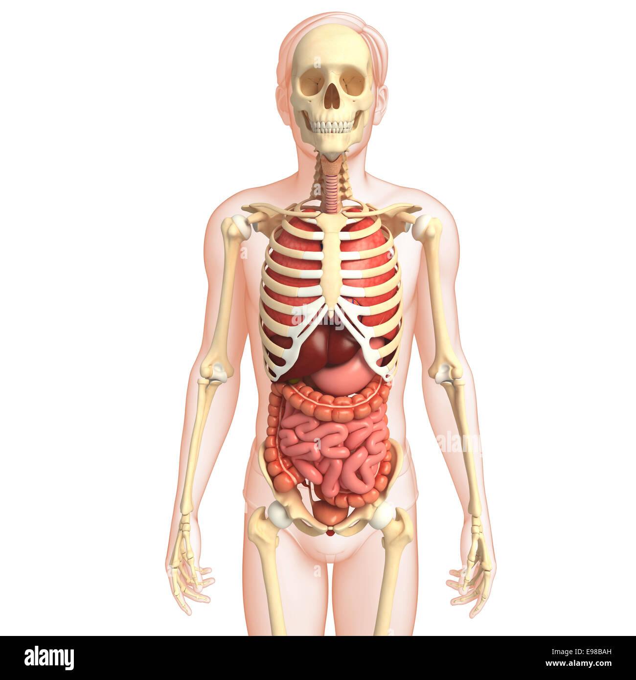 Abbildung des menschlichen Verdauungssystems Skelett Kunstwerk ...