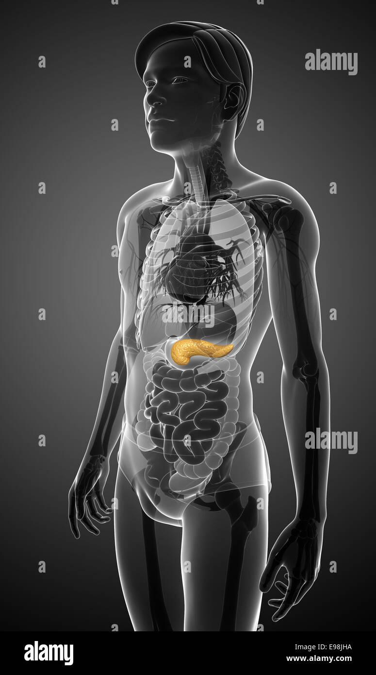 Ungewöhnlich Anatomie Der Bauchspeicheldrüse Und Milz Fotos ...