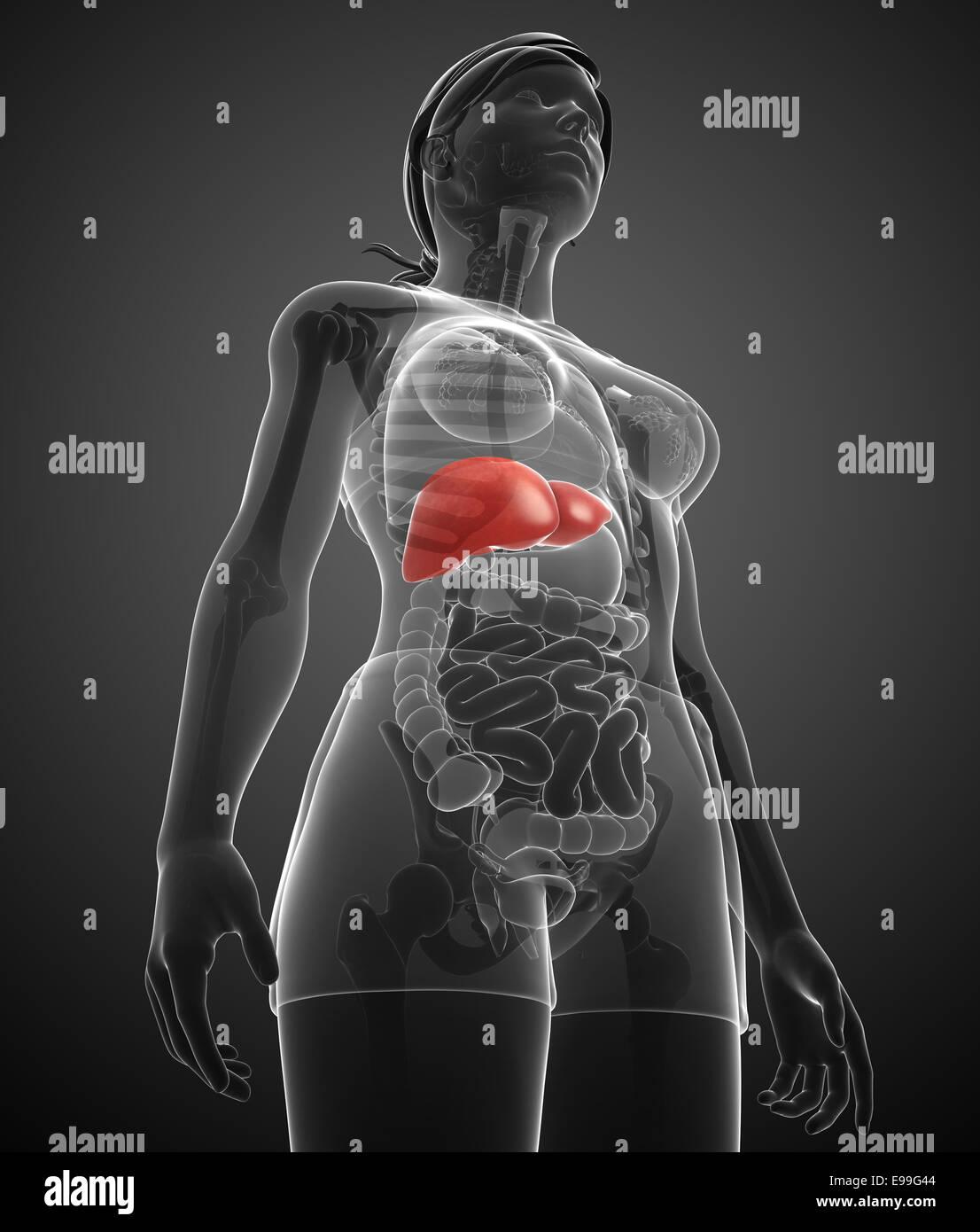 Right Ureter Stockfotos & Right Ureter Bilder - Alamy