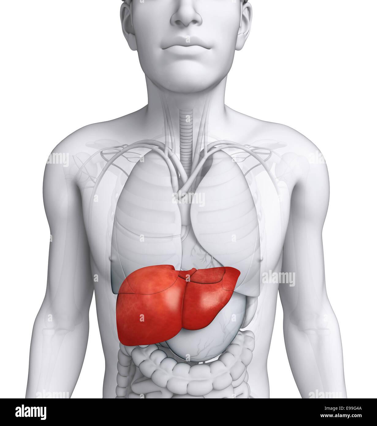 Ungewöhnlich Leber Ct Anatomie Bilder - Anatomie Ideen - finotti.info