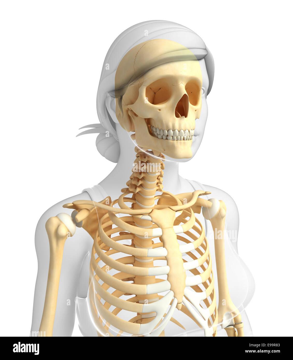 Fantastisch Anatomie Skelett Zum Verkauf Bilder - Anatomie Von ...