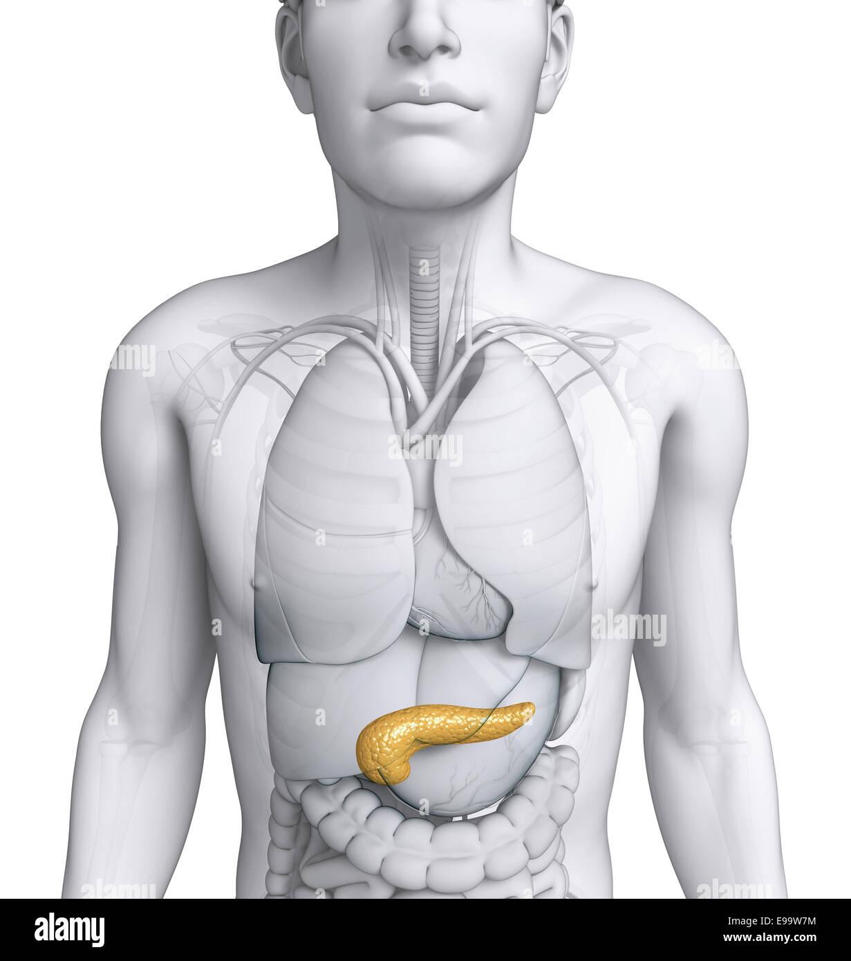 Darstellung der männlichen Pankreas Anatomie Stockfoto, Bild ...