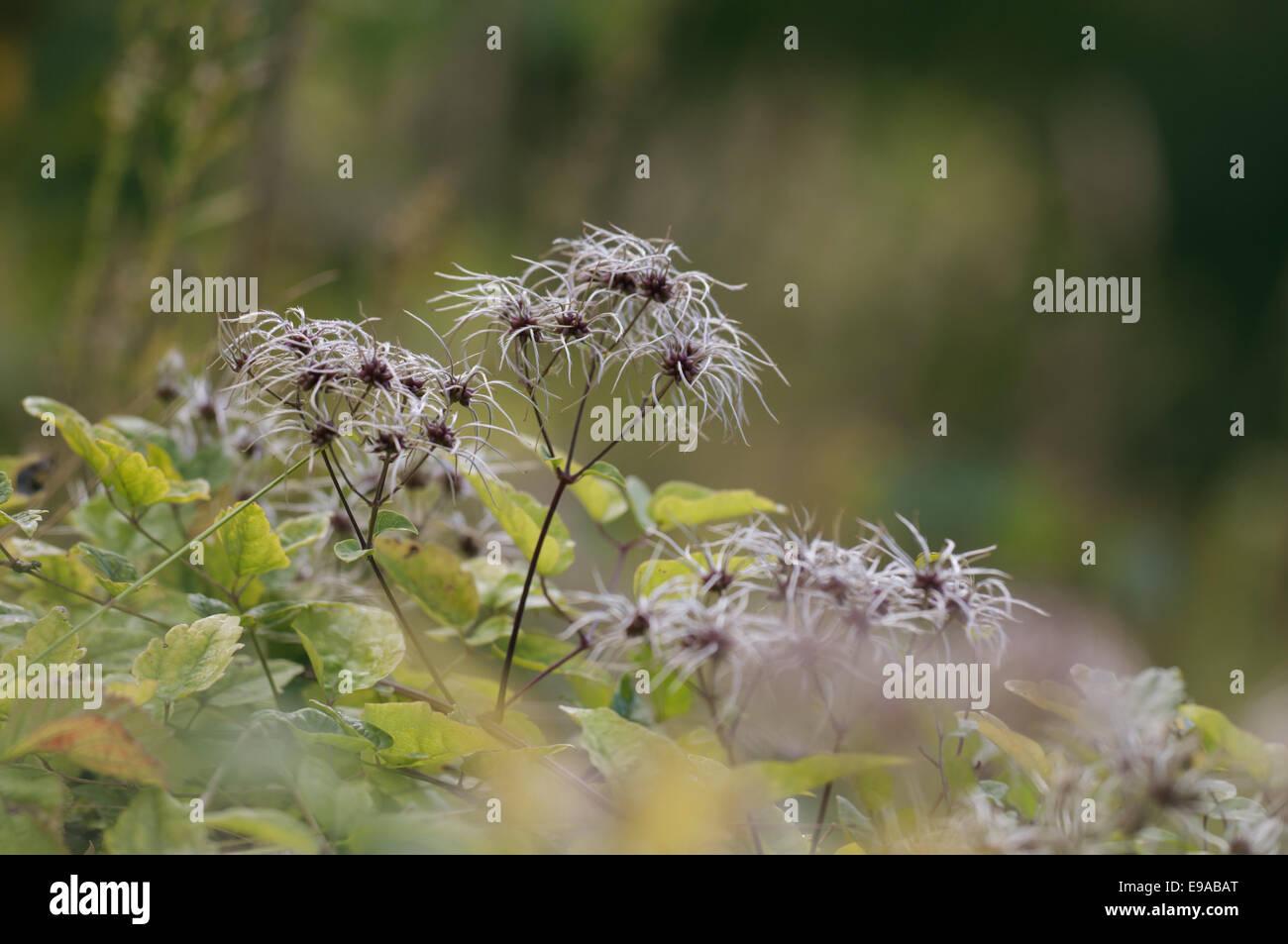 Clematis Stockbild