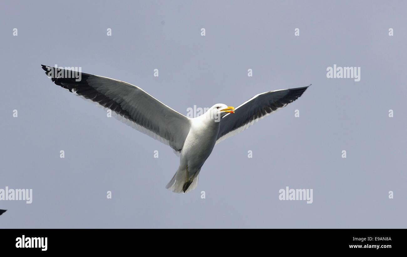 Fliegende Kelp Gull (Larus Dominicanus), auch bekannt als die Dominikaner Gül und schwarz unterstützt Stockbild