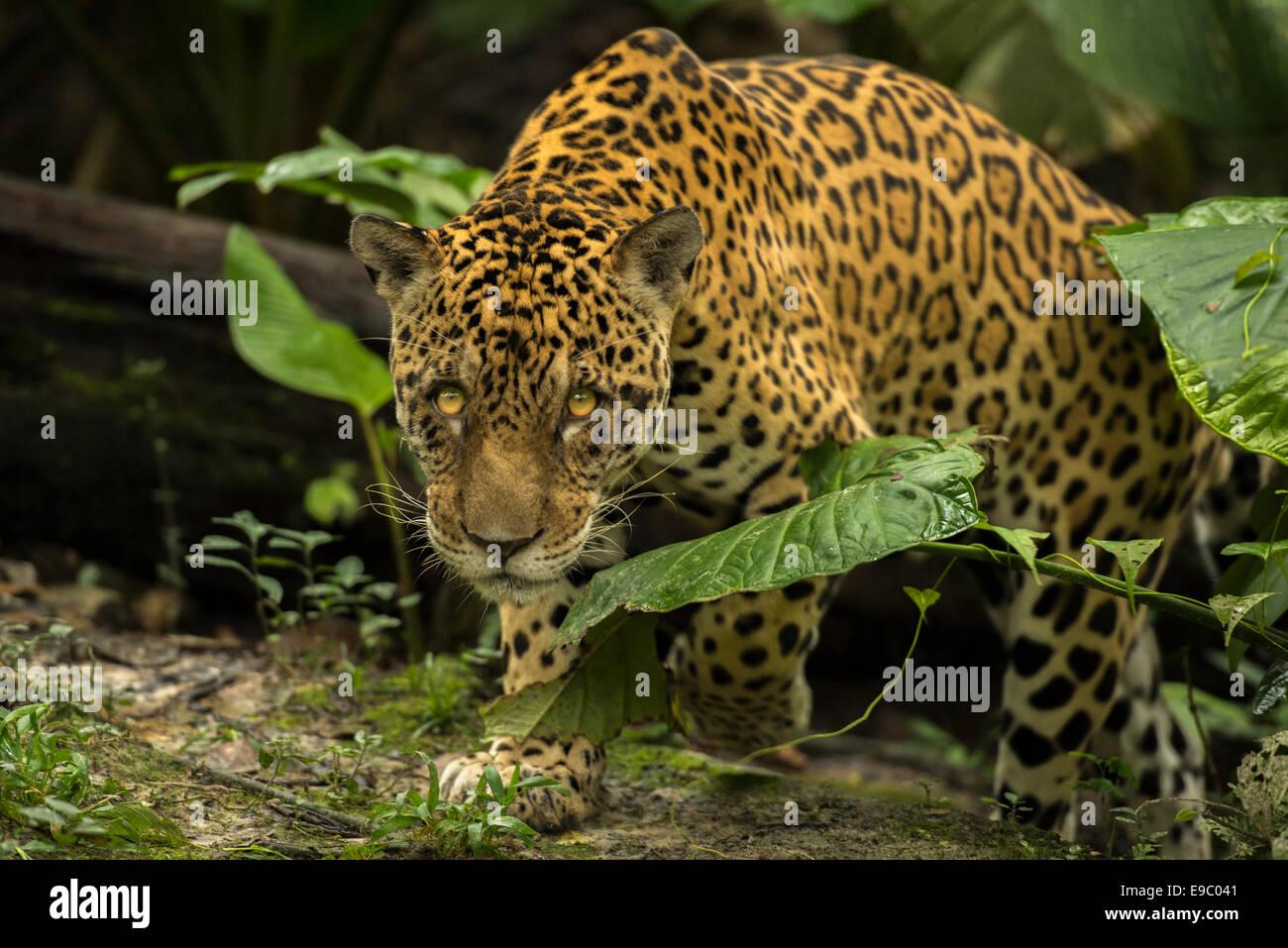Jaguar Panthera onca Stockbild