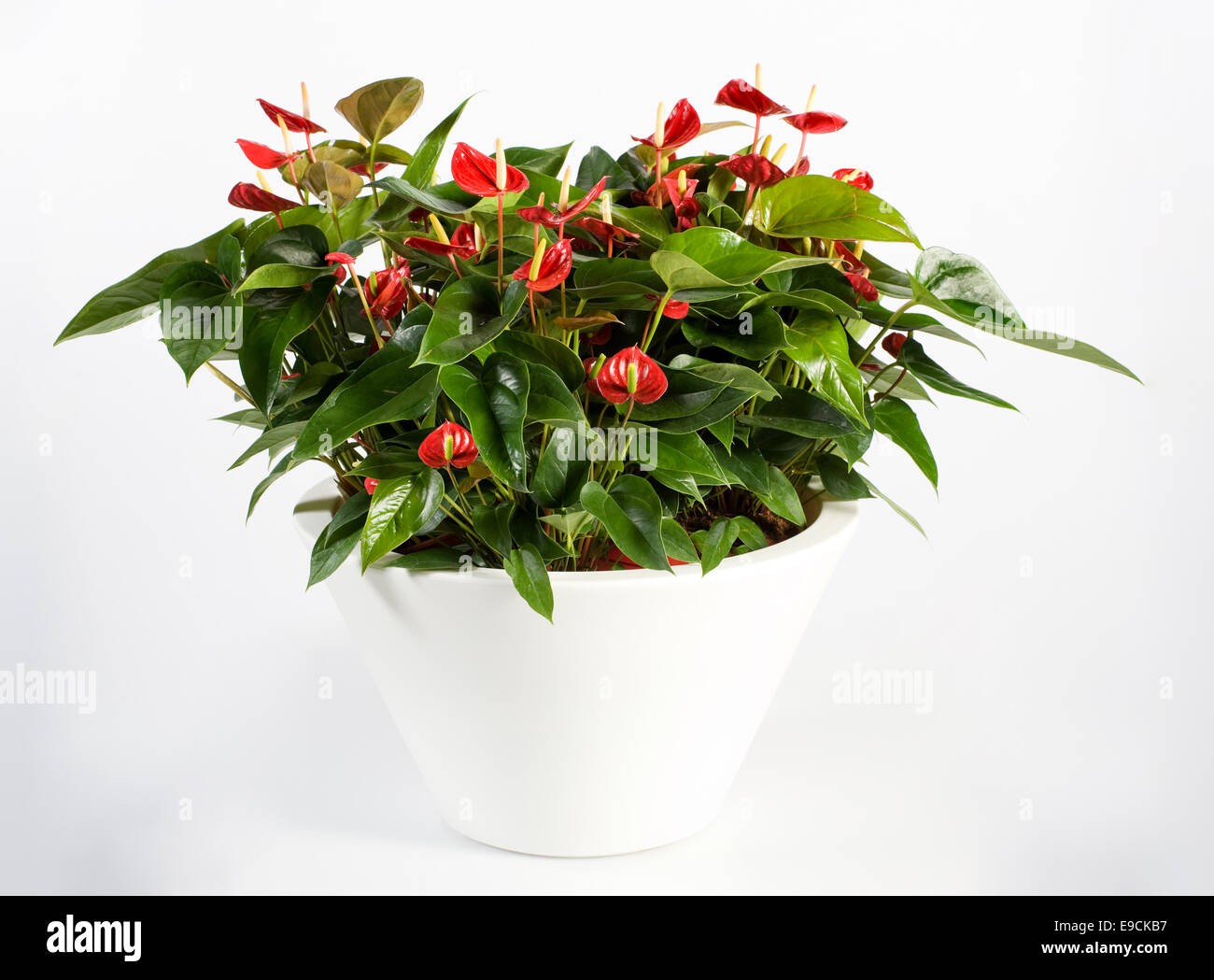 anthurium stockfotos anthurium bilder alamy. Black Bedroom Furniture Sets. Home Design Ideas