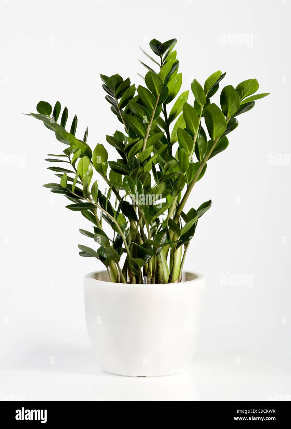 kultivierte zamioculcas zimmerpflanze in einem einfachen wei en blumentopf eine immergr ne. Black Bedroom Furniture Sets. Home Design Ideas