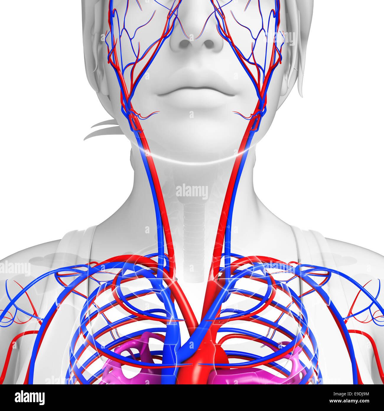 Beste Teile Von Herz Kreislauf System Bilder - Menschliche Anatomie ...
