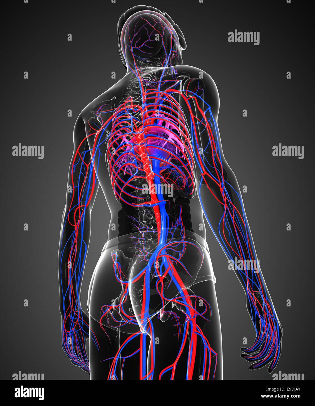 Nett Herz Kreislauf Test Anatomie Und Physiologie Zeitgenössisch ...