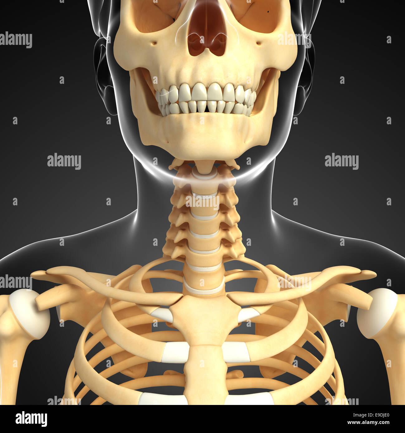 Großzügig Skelett System Unmarkierte Galerie - Menschliche Anatomie ...