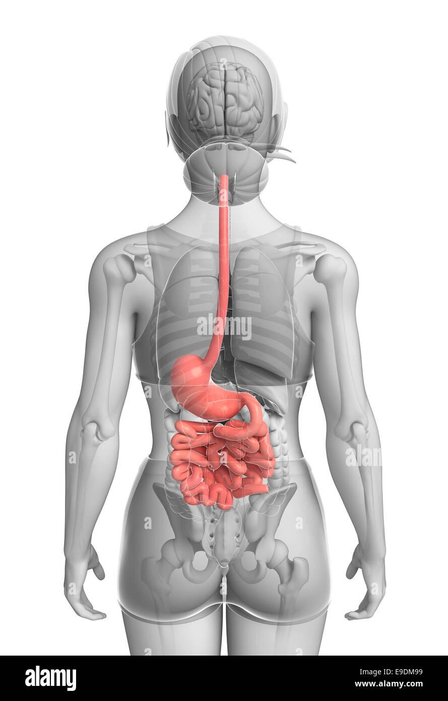 Darstellung der weiblichen Dünndarm Anatomie Stockfoto, Bild ...