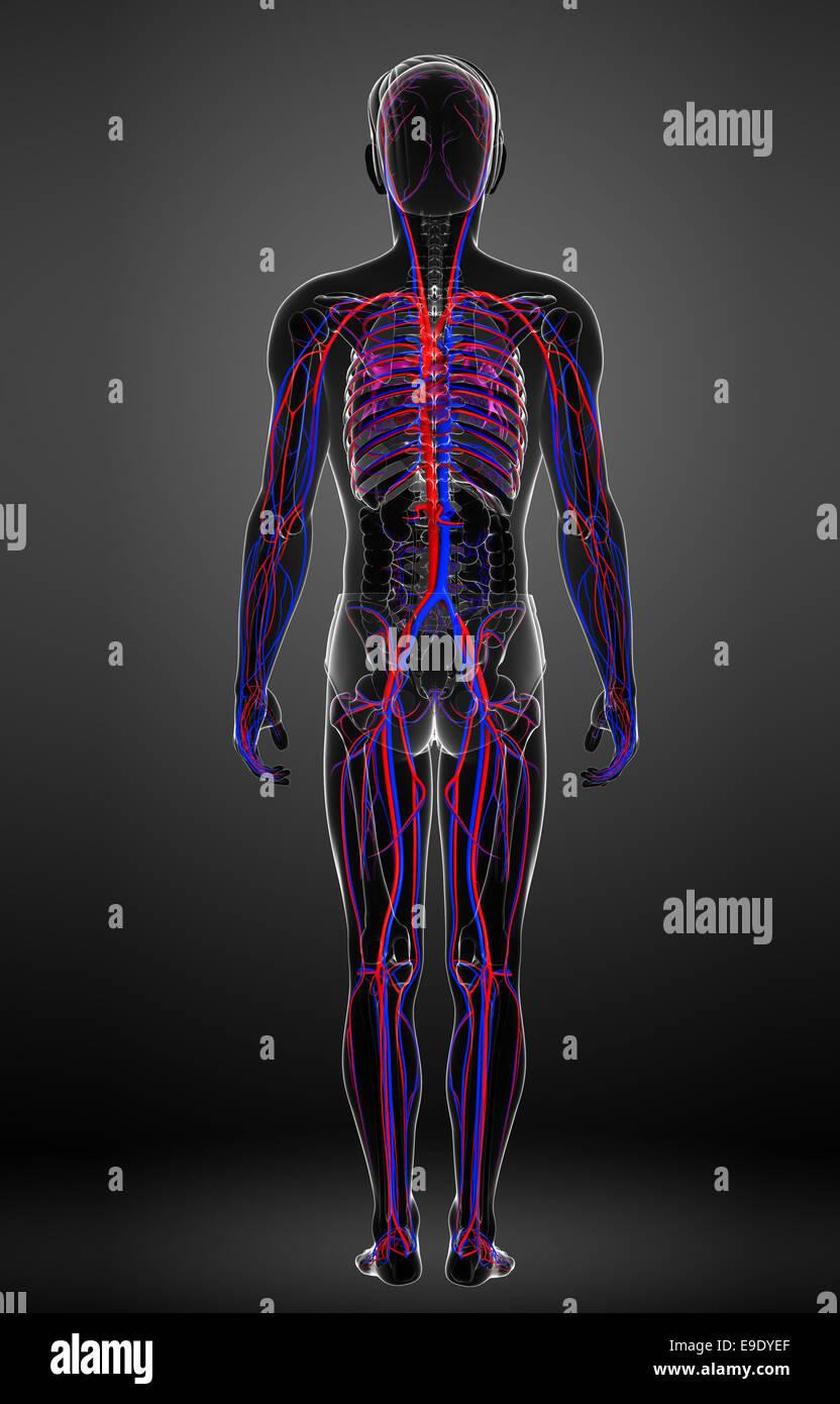 Groß Herz Kreislauf System Besteht Aus Fotos - Menschliche Anatomie ...