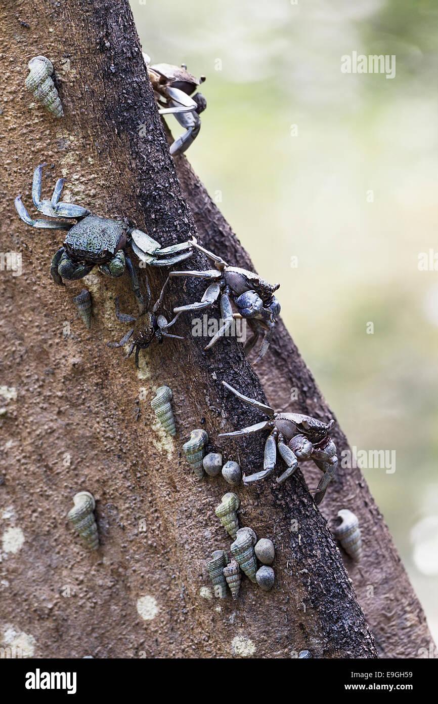 Baumklettern Krabben auf einem Mangroven-Baum Stockbild