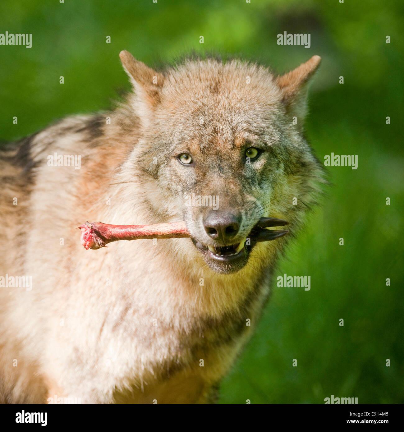 Wolf (Canis Lupus), mit Knochen im Mund, Gefangenschaft, Hessen, Deutschland Stockbild