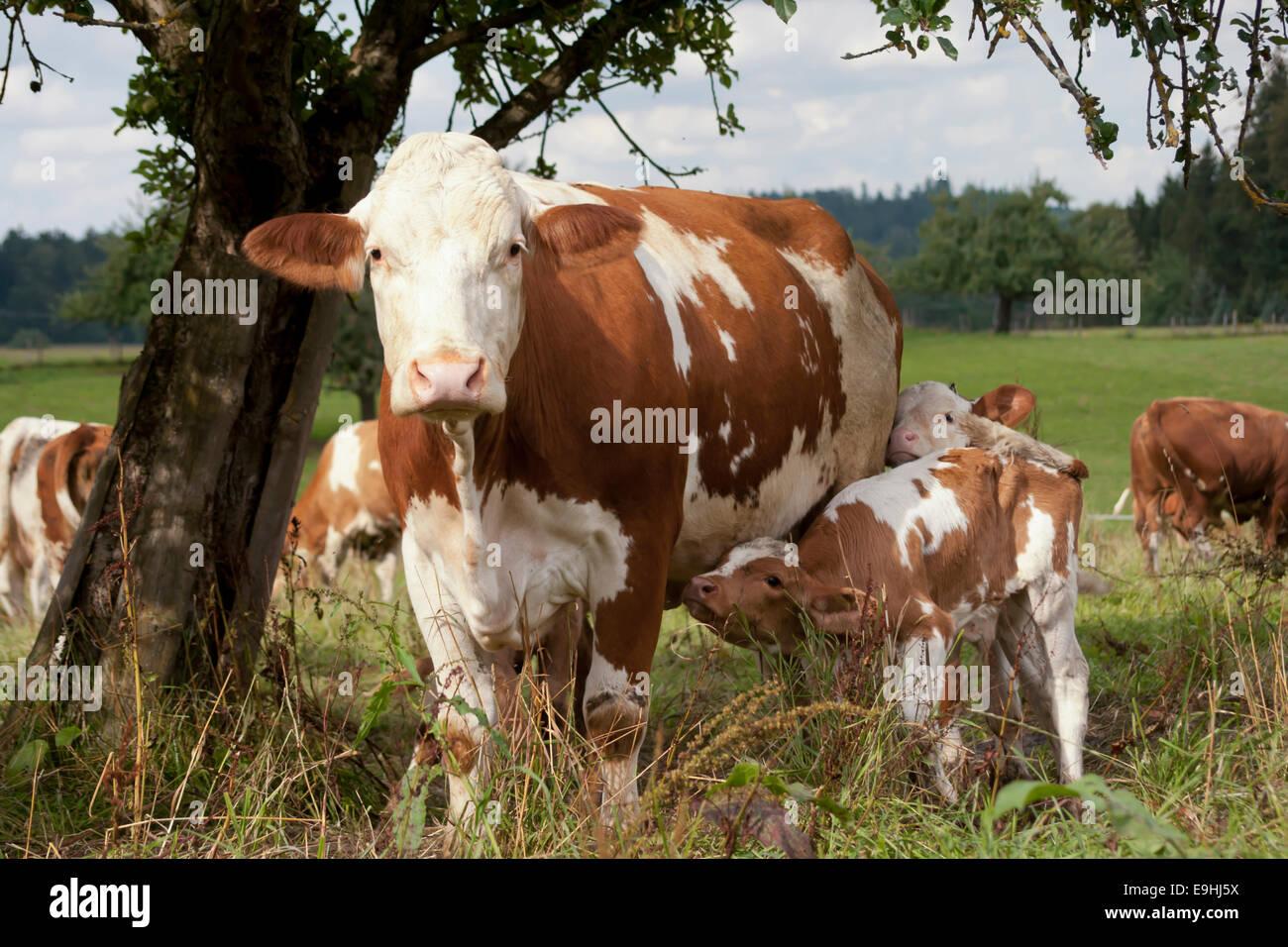 Kuh mit jungen Kalb auf Wiese Stockbild