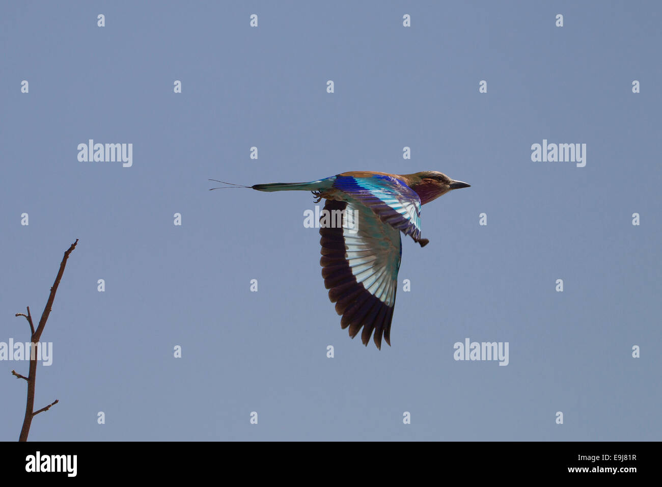 Lilac Breasted Roller im Flug Stockbild