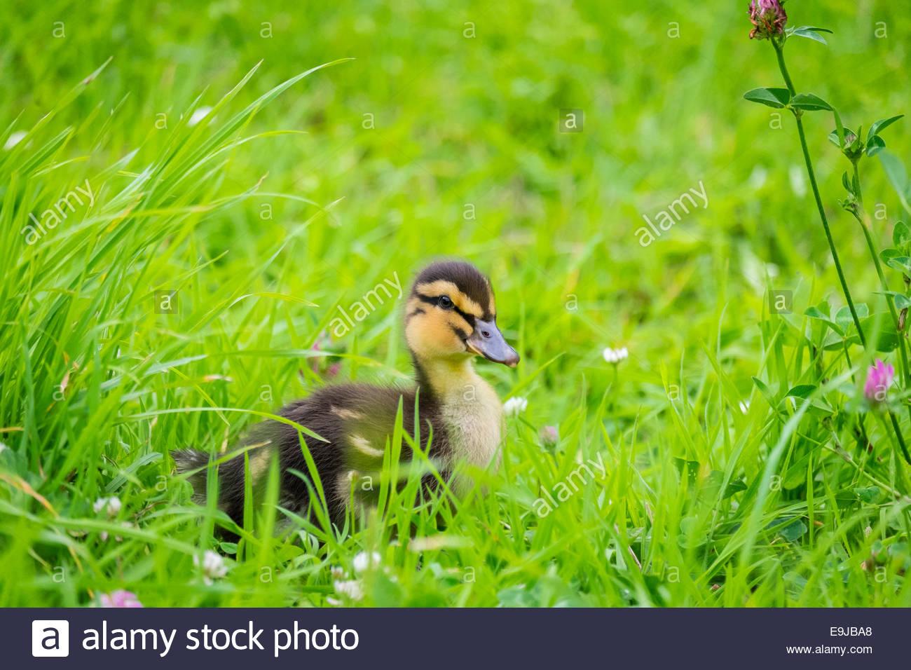 Junge baby Ente, zehn Tage alten Entlein in der Wiese, La Creuse, Limousin, Frankreich Stockbild