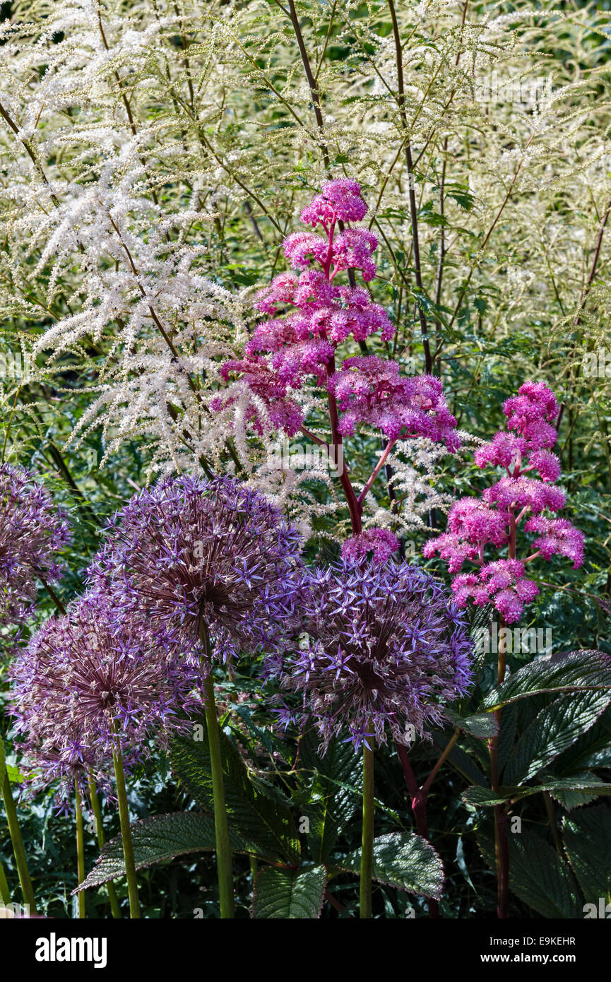 Lanhydrock, Bodmin, Cornwall, UK. Rodgersia Pinnata 'Superba' und Alliums in der krautigen Grenze, Sommer Stockbild