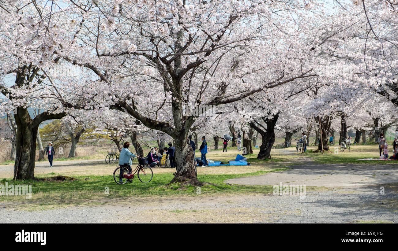 Japanische Touristen genießen Kirschblüten im Frühling in Arashiyama. Stockbild