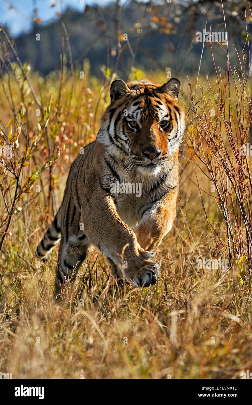 Sibirischer Tiger Amur Tiger Panthera Tigris Altaica In Der Nähe