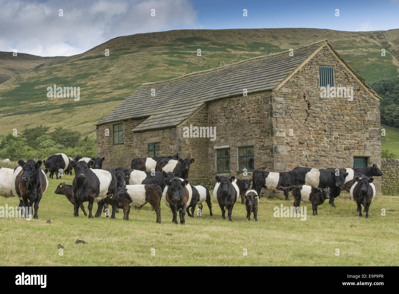 belted galloway hausrind stier k he und k lber herde auf der weide neben stein stehend feld. Black Bedroom Furniture Sets. Home Design Ideas