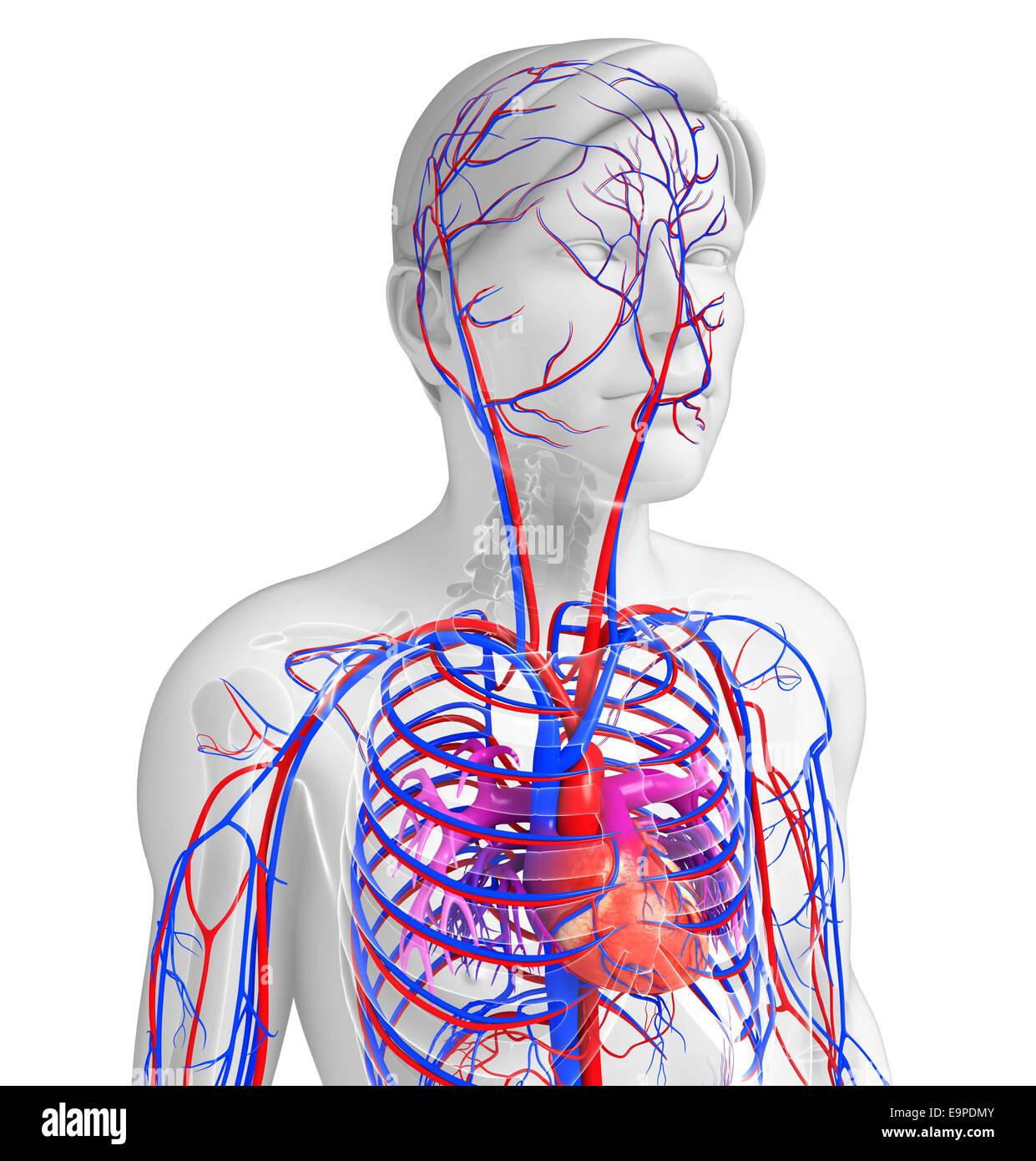 Heart Veins Arteries Stockfotos & Heart Veins Arteries Bilder ...