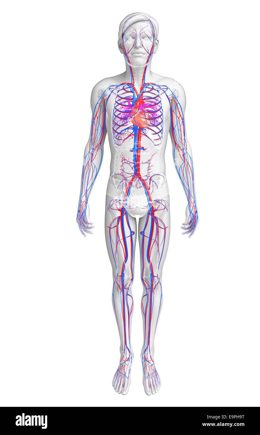 Beste Bilder Des Herzens Anatomie Ideen - Physiologie Von ...