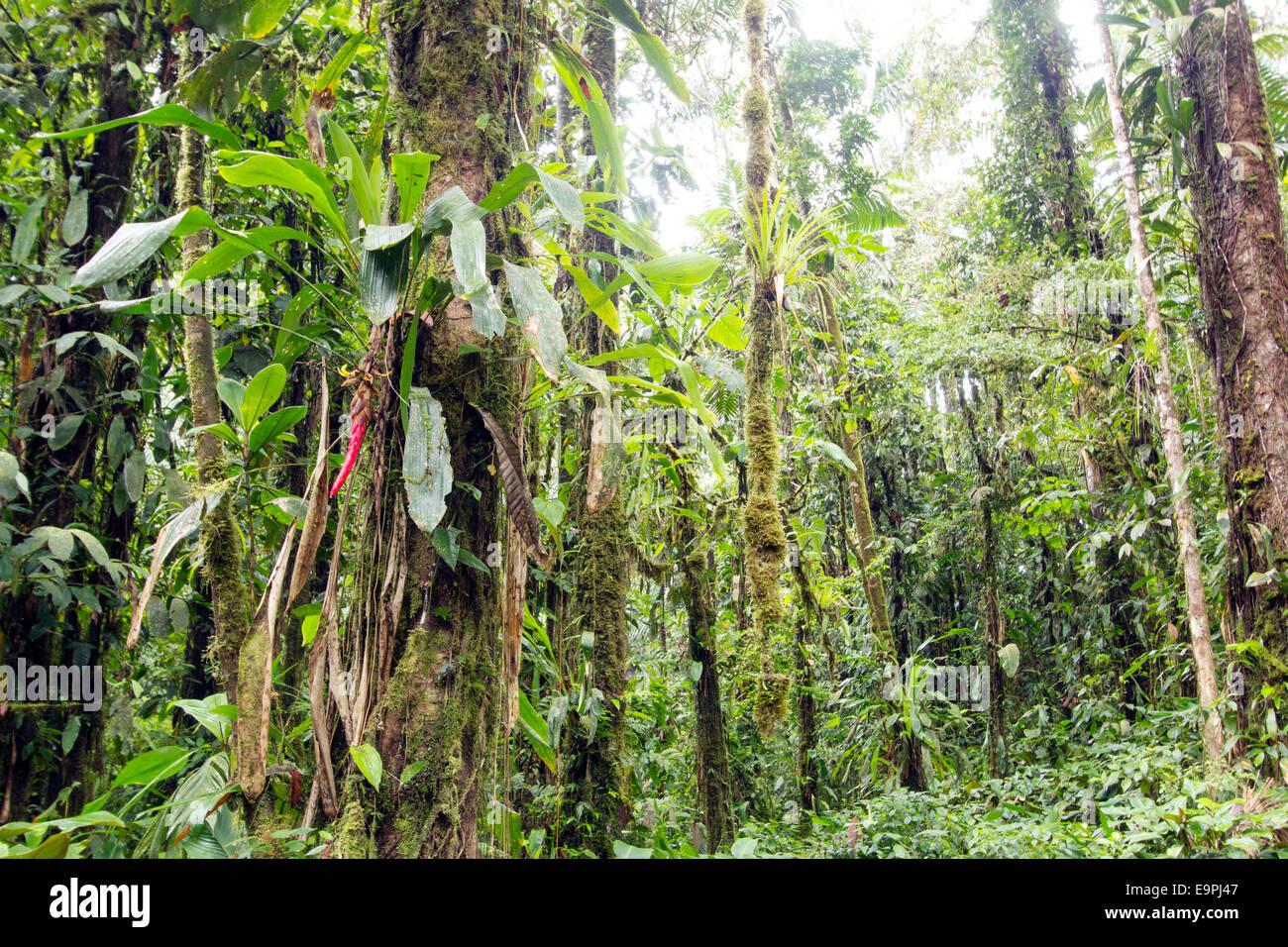 Innere Troipcal Regenwald nahe Sumaco National Park im ecuadorianischen Amazonasgebiet. Mit einem Pitcairnea Bromelie Stockbild