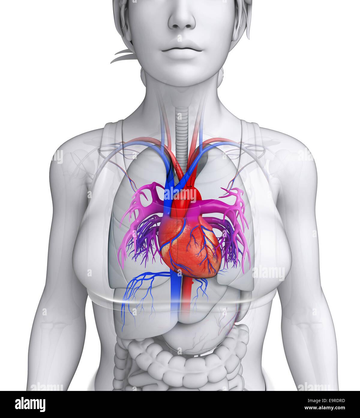 Ungewöhnlich Herzanatomie Labor Galerie - Anatomie Von Menschlichen ...