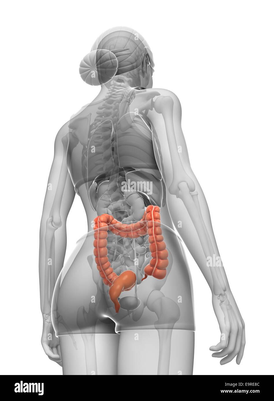 Wunderbar Weibliche Anatomie Des Menschen Bauch Zeitgenössisch ...