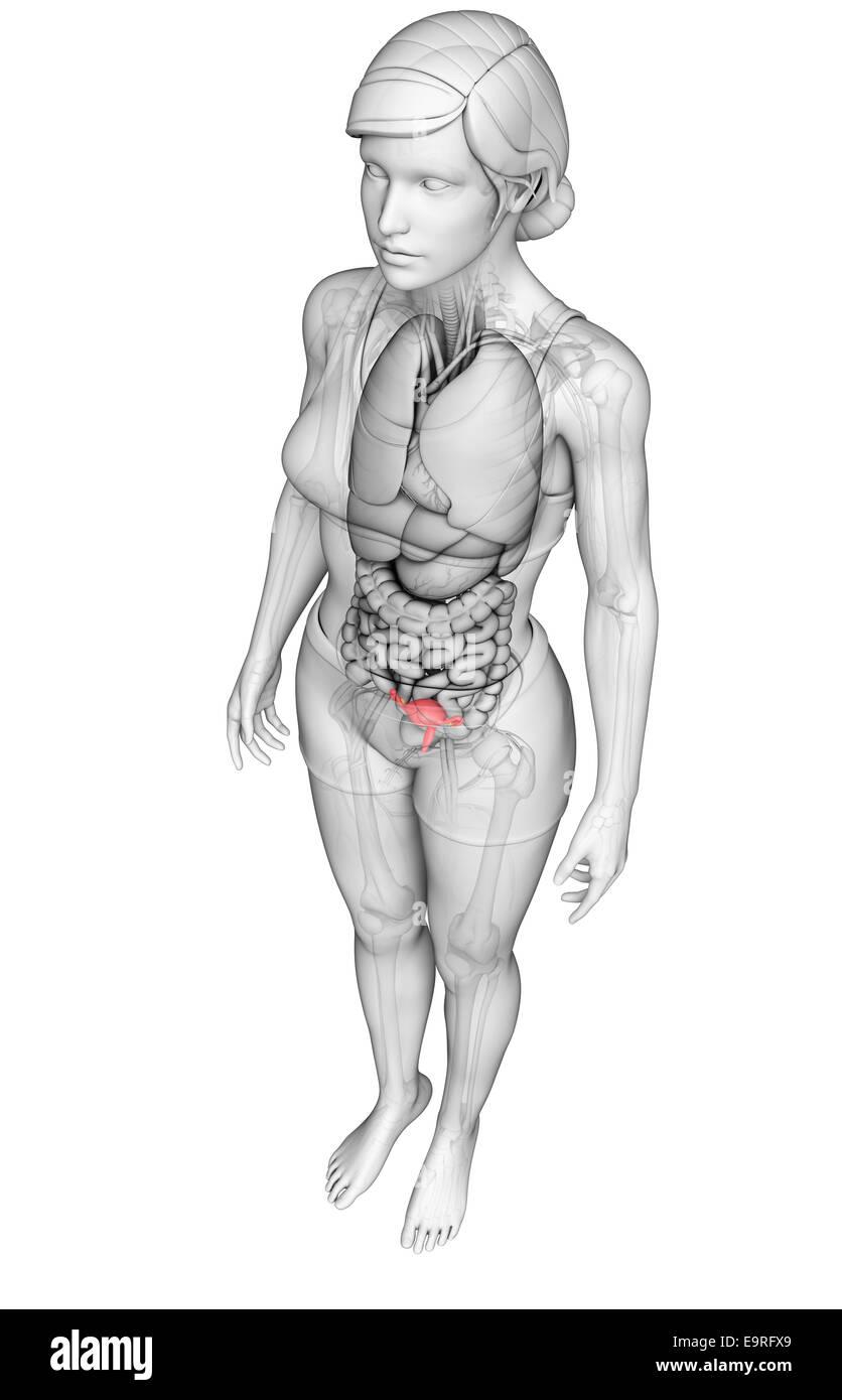 Erfreut Weibliche Genitalanatomie Abbildungen Ideen - Physiologie ...