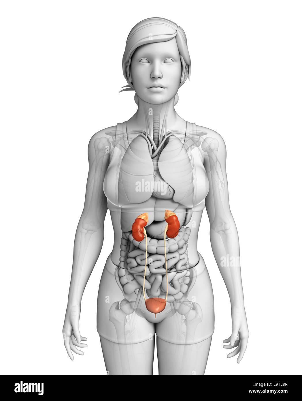 Großzügig Weibliche Harn Anatomie Ideen - Anatomie Ideen - finotti.info