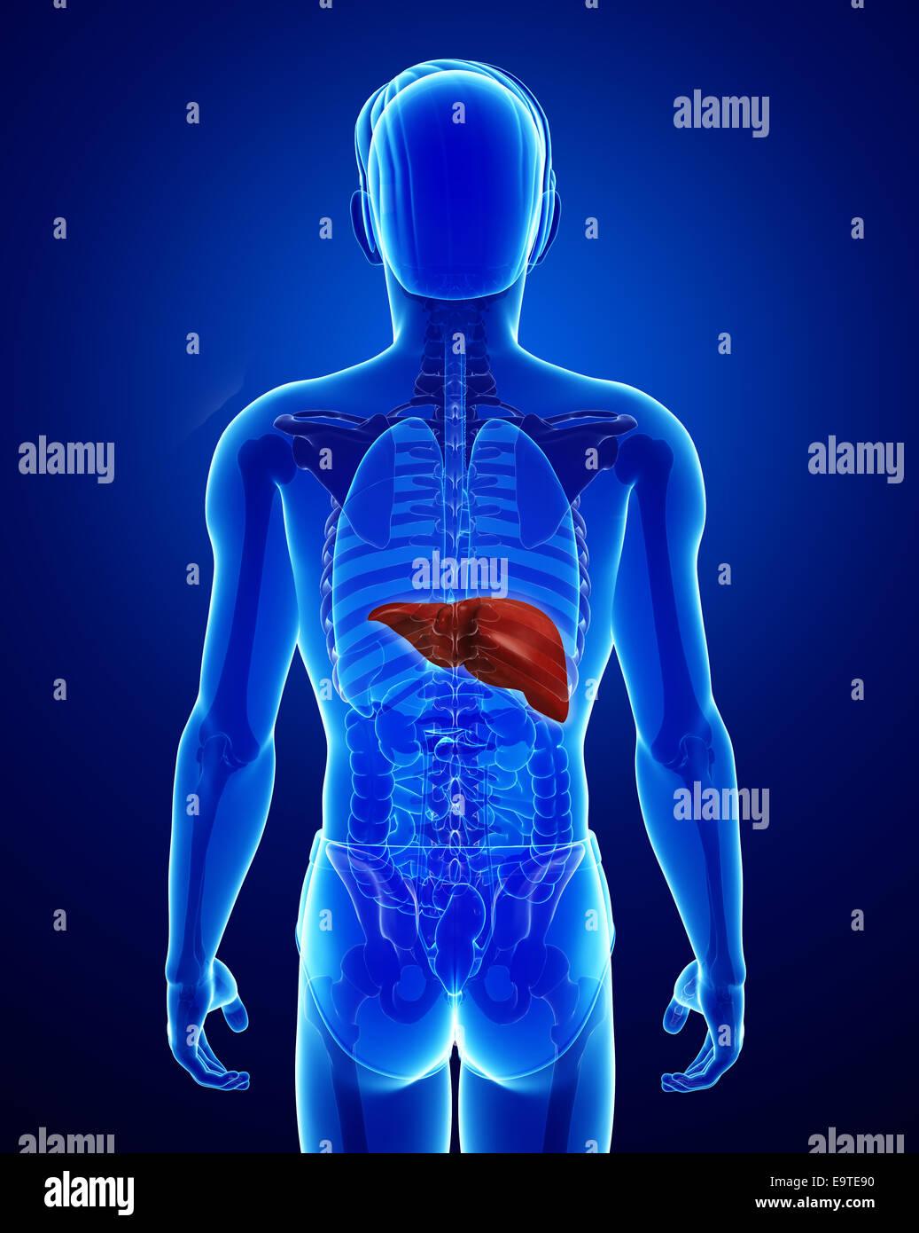 Großzügig Wo Wird Die Leber Im Körper Befindet Diagramm Fotos ...