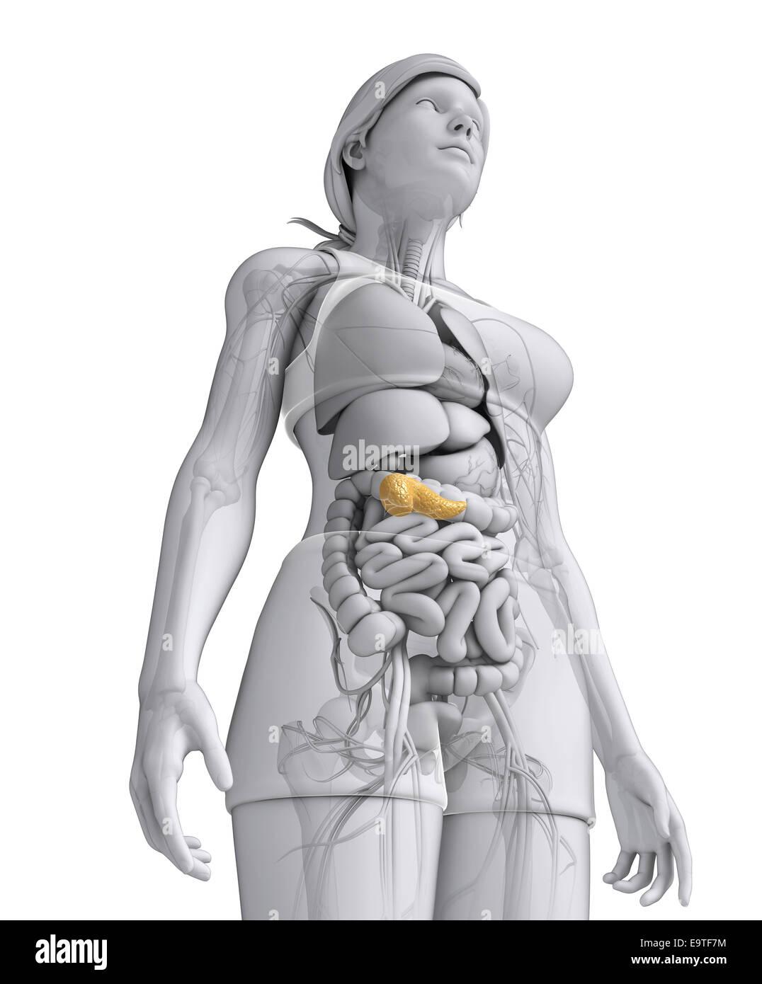 Fantastisch Gummi Anatomie Und Physiologie Bilder - Anatomie Ideen ...